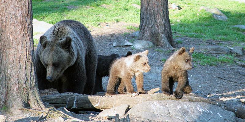 Karhuemo synnyttää 2‒4 vuoden välein. Pentueen koko on 2‒3 pentua, neljä on jo iso joukko. Tässä kaksi viime talvena syntynyttä pentua emonsa kanssa. Kuva: Hannes Mäntyranta