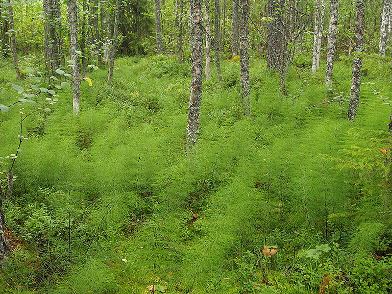 One type of spruce mires has been named after wood horsetail [Equisetum sylvaticum] which you can see growing here on the ground. This type of spruce mire may contain values both for nature protection and commercial forestry. Photo: Hannes Mäntyranta