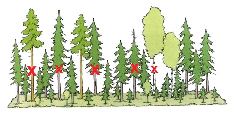 Kaavakuva poimintahakkuusta. Kuva: Juha Varhi, Metsäkustannus