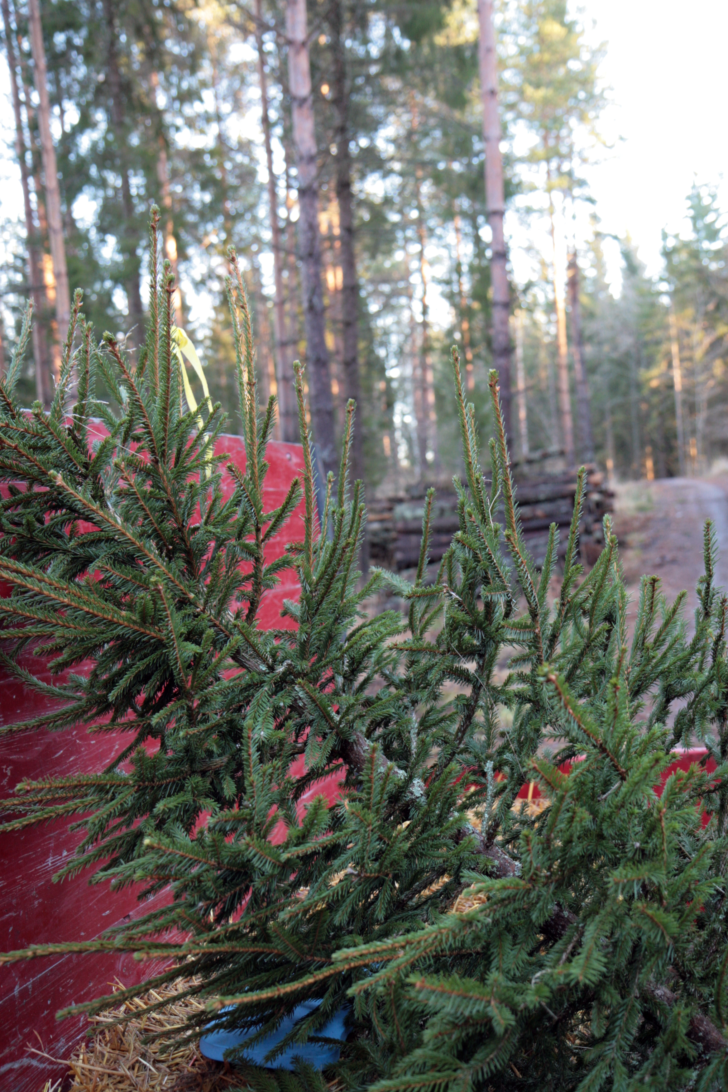 A sustainably grown and FSC-certified spruce. Photo: Anna Kauppi