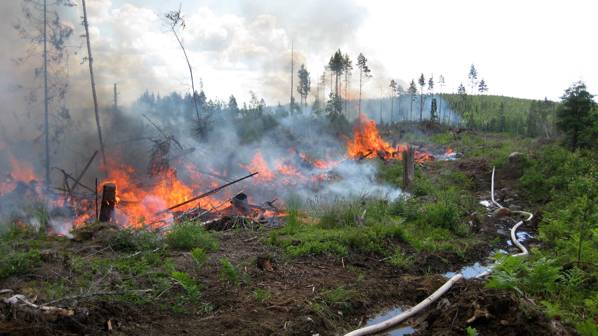 Kulotus oli 1960-luvulle asti tavallinen metsänuudistamisen maanmuokkausmenetelmä. Kuva: Risto Höglund
