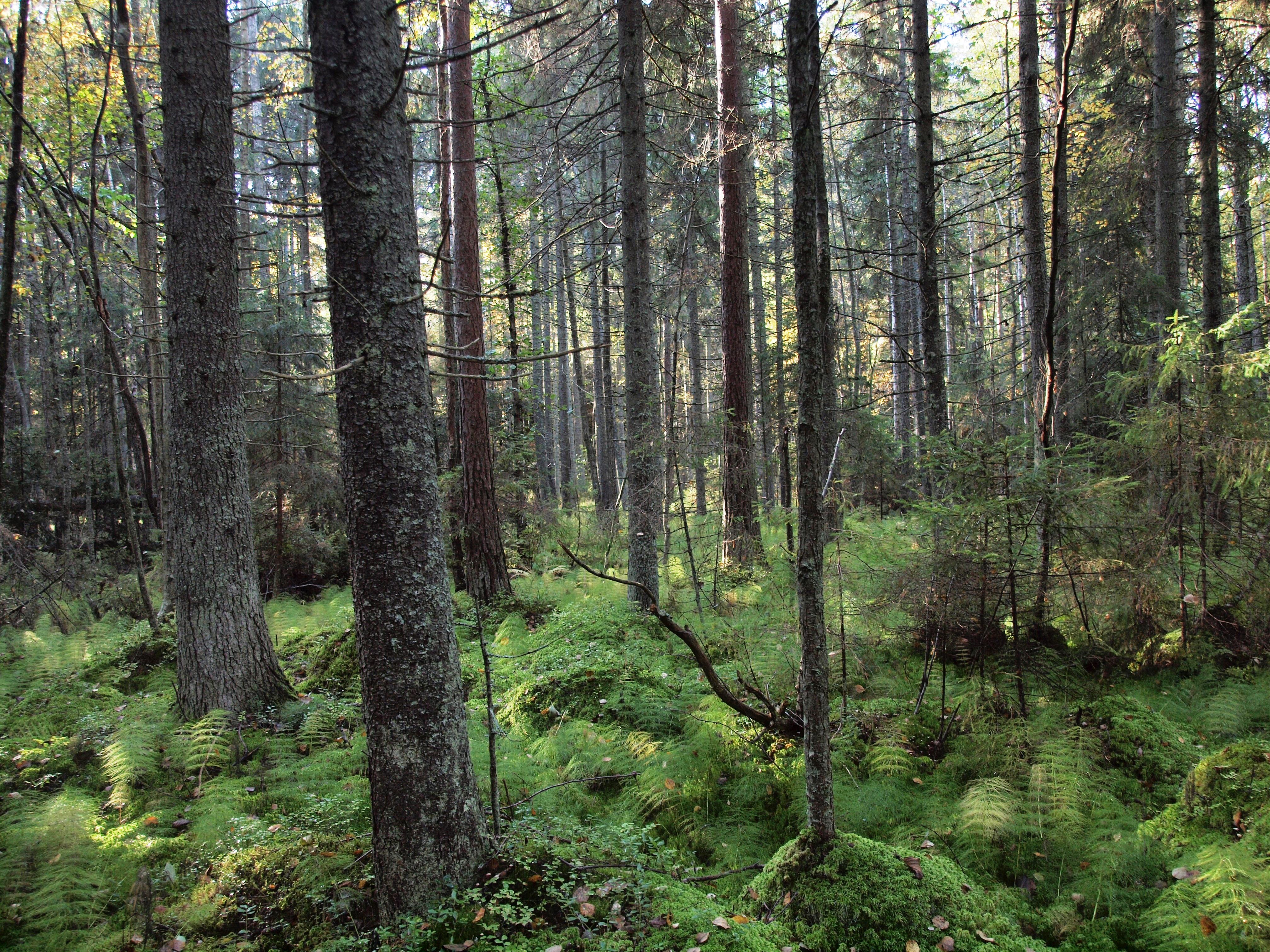 Metsäkortekorpi. Kuva: Kimmo Syrjänen