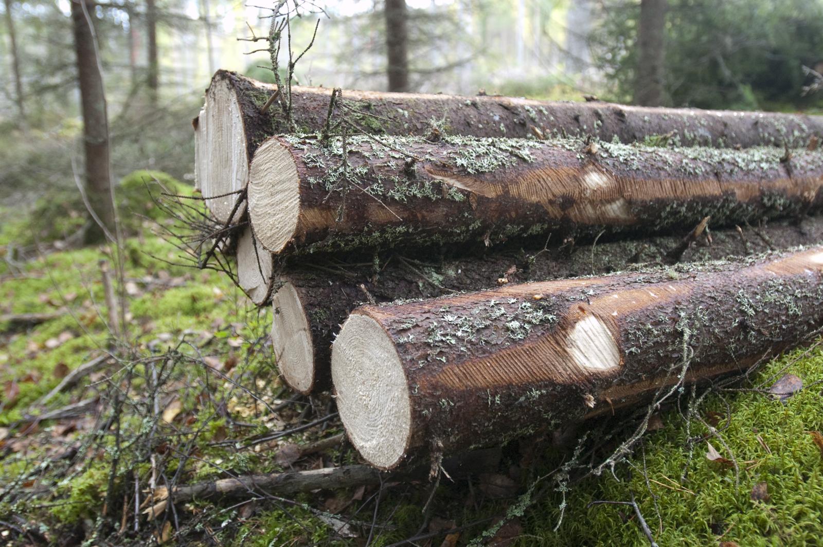 Spruce logs. Photo: Saku Ruusila
