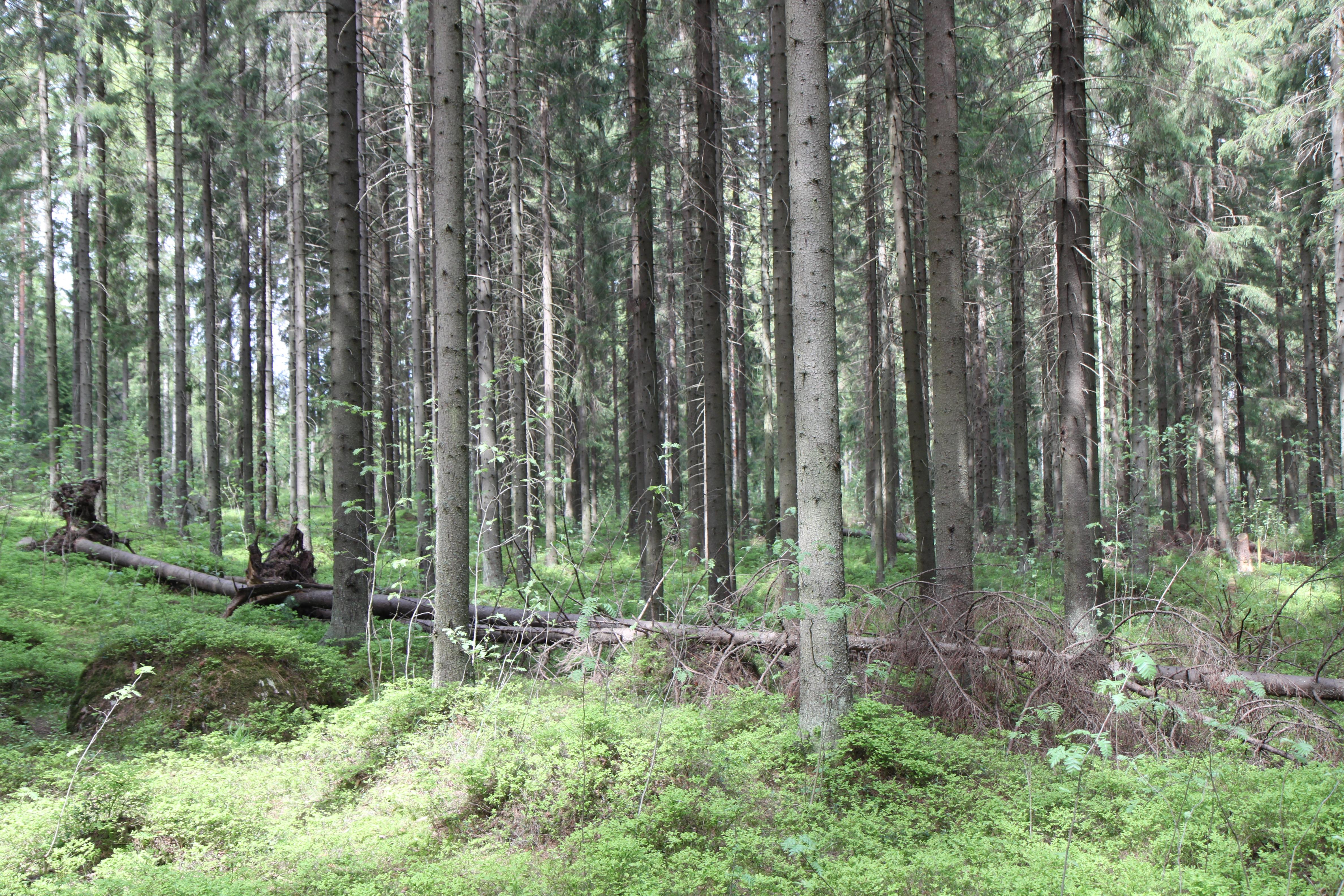 Vanhenevaa metsää. Kuva: Krista Kimmo