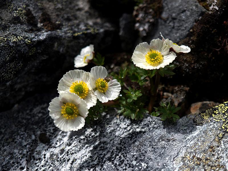 Jääleinikki on arktis-alpiininen kasvi, joka viihtyy tunturipaljakalla lumenviipymien tuntumassa. Ilmastonmuutos uhkaa lajin esiintymiä. Kuva: Kimmo Syrjänen