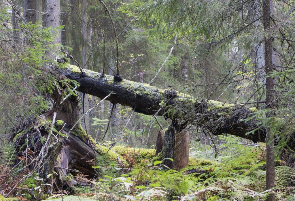 Dead wood. Photo: Erkki Oksanen