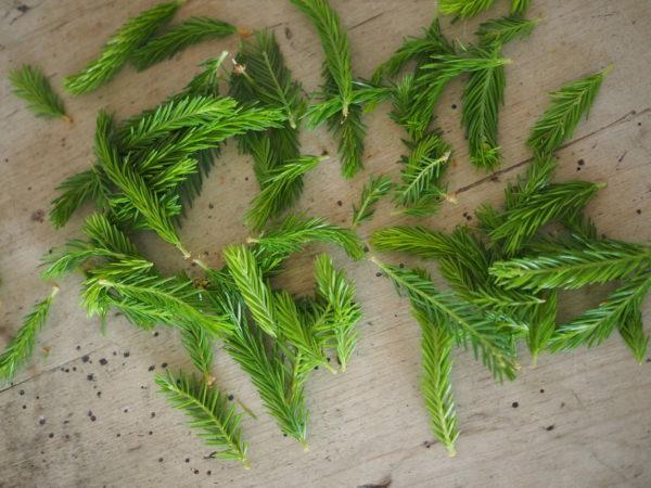 Spruce shoot. Photo: Kuva: Anikó Lehtinen