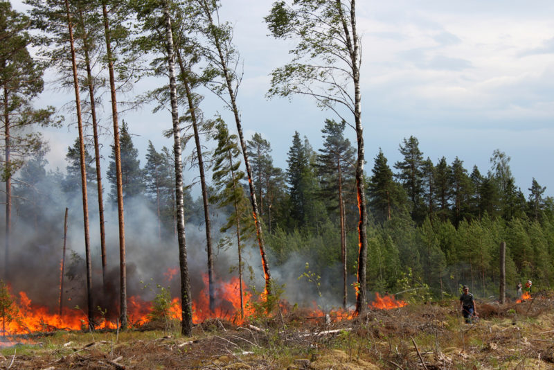 In controlled burning the aim is to also burn the retention trees, as this is good for biodiversity. Photo: Aino Ässämäki
