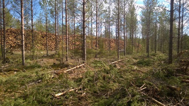 Metsähallituksen ensiharvennusala. Kuva: Lauri Karvonen