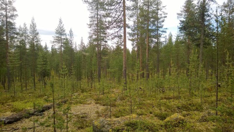 Pienalakasvatuksen hakkuuala Metsähallituksen metsässä. Kuva: Lauri Karvonen