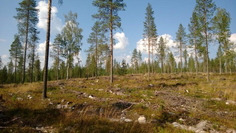 Metsähallituksen siemenpuuhakkuun ala. Kuva: Lauri Karvonen