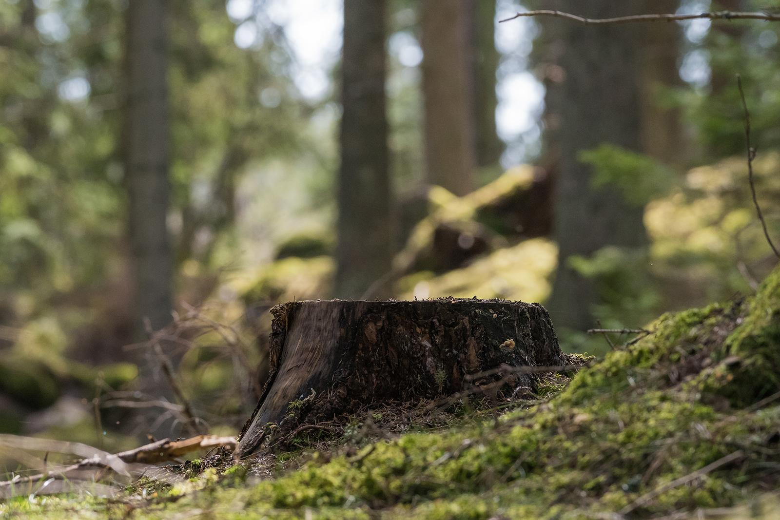 Kannoista, niiden läpimitasta, koosta, määrästä ja puulajista voi usein päätellä, millainen hakkuu metsässä on tehty. Kuva: Shutterstock