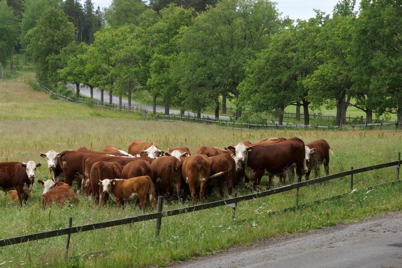 Koski Manor's Hereford cattle. Photo: Maria Munck-Pihlgren