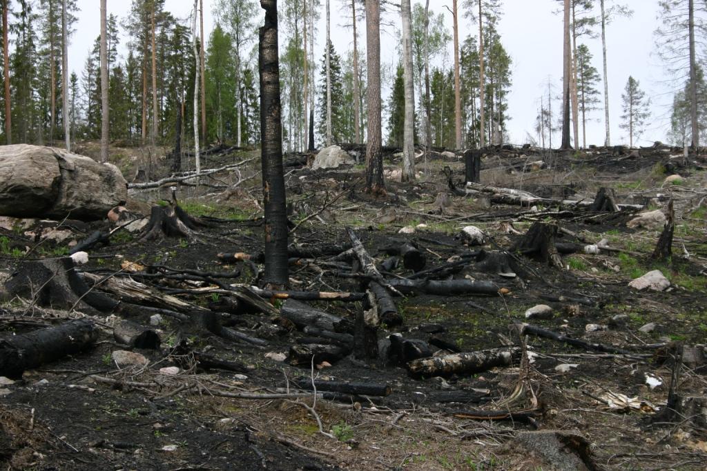Yksi Suomen metsien monimuotoisuusongelmista on metsäpaloista elävien lajien harvinaistuminen. Niitä pyritään auttamaan kulottamalla metsää keinotekoisesti. Kuva: Lauri Saaristo