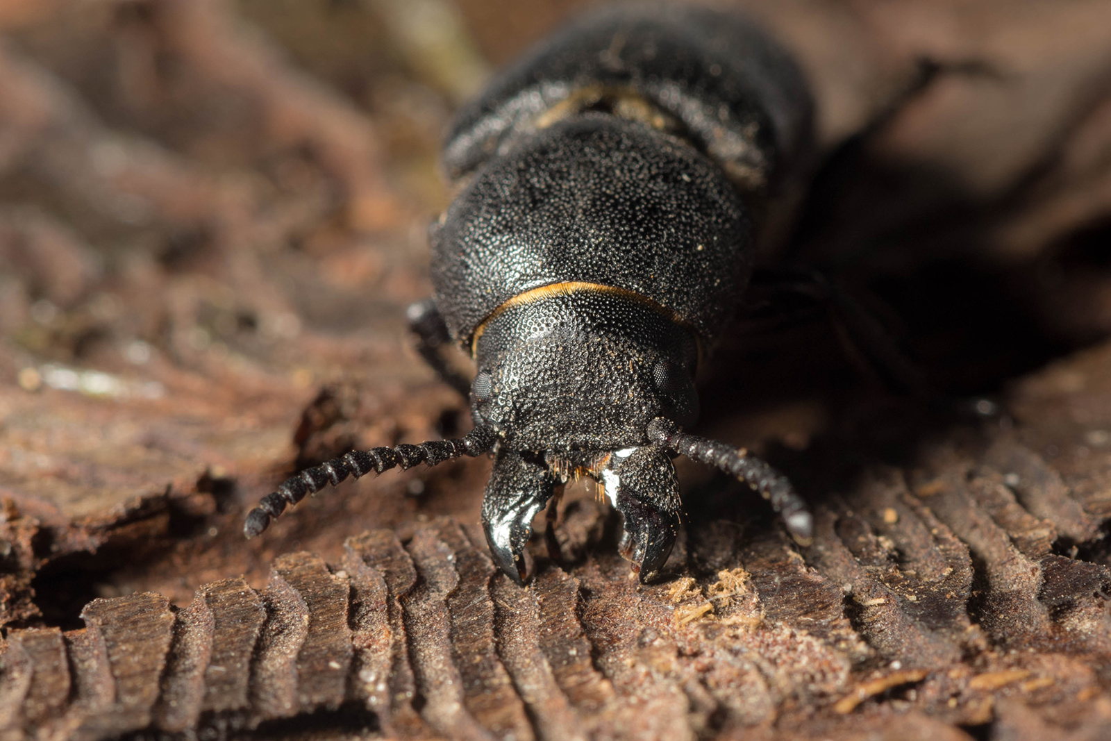 There are thousands of species of bark beetles in the world, of which the European spruce bark beetle is the worst for the economy. Photo: Shutterstock