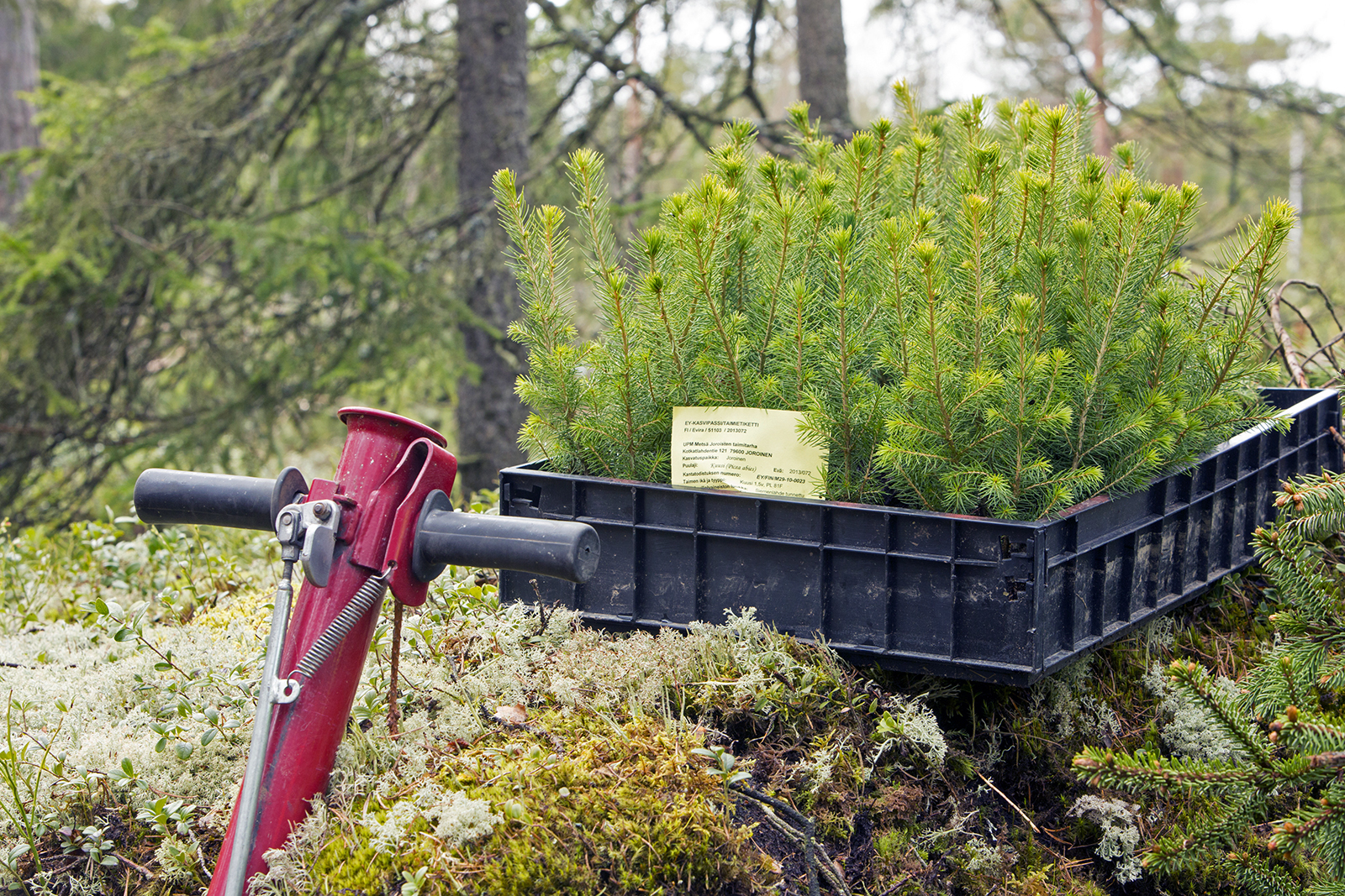 Genetic improvement can increase yield by one fifth. Photo: Finnish Forest Association