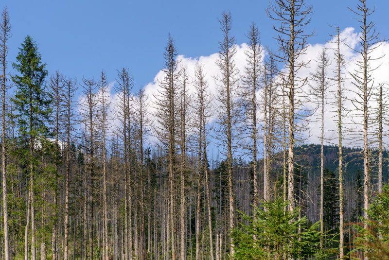 The European spruce bark beetle has caused severe damage in spruce forests in Central Europe, particularly in the Czech Republic and Slovakia. Photo: Shutterstock