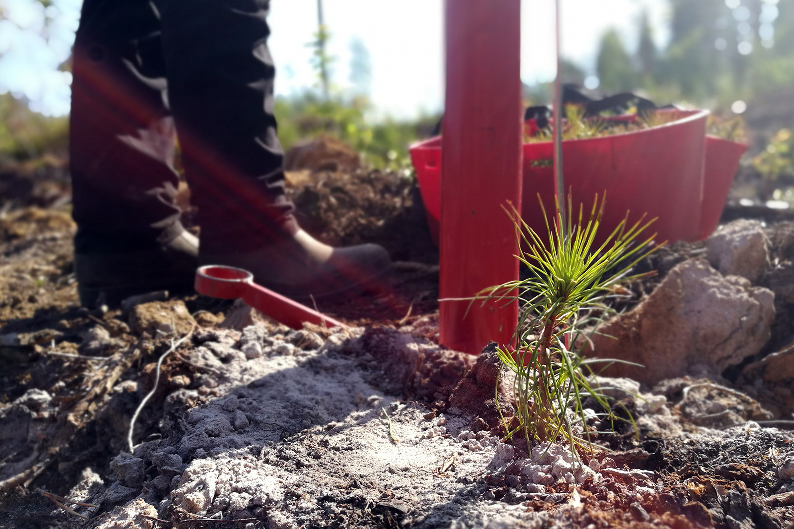 After a mature tree is felled, it is replaced by four or even five seedlings. Photo: Anna Kauppi