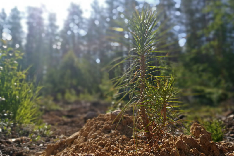 Only endemic Finnish species are used in forestry in Finland. Photo: Anna Kauppi