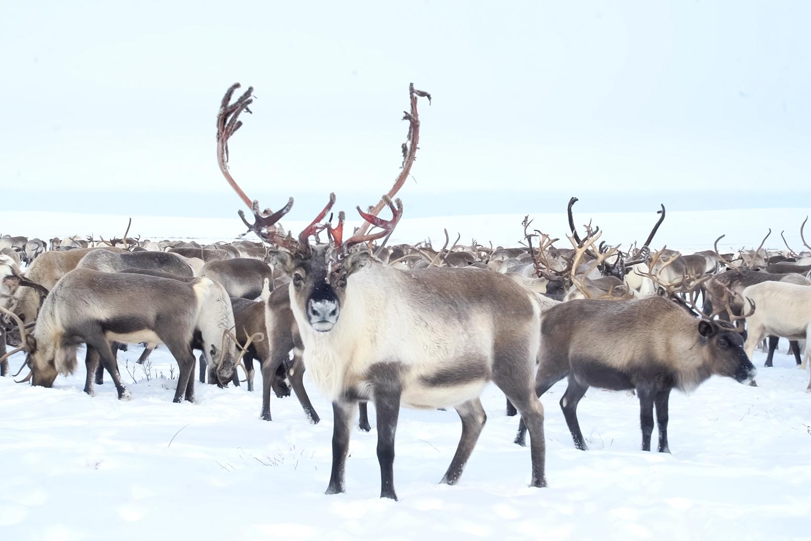 Reindeer herd. Photo: Shutterstock