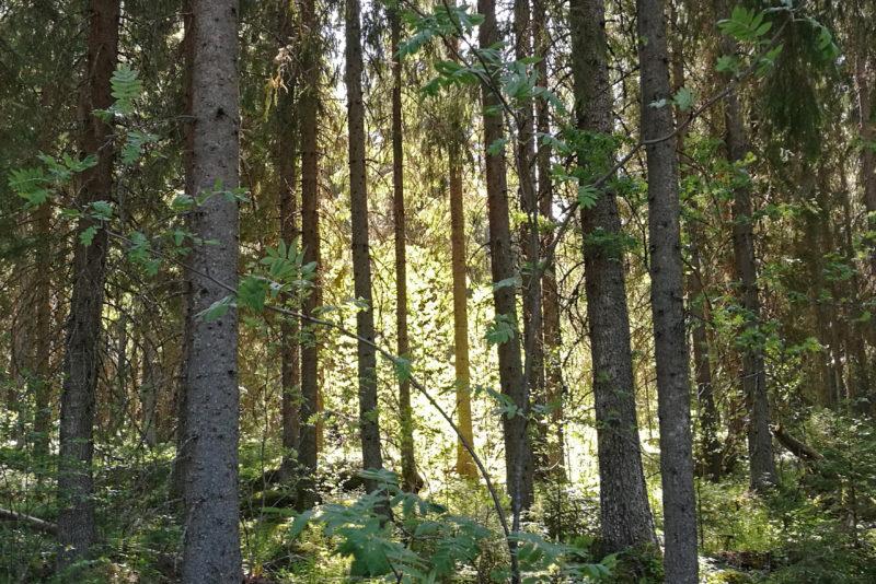 Nordic forest. Photo: Anna Kauppi