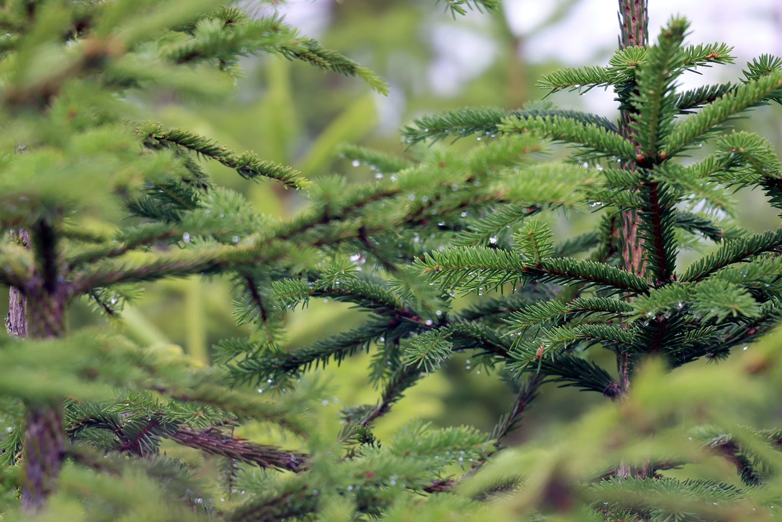 Young spruces. Photo: Anna Kauppi